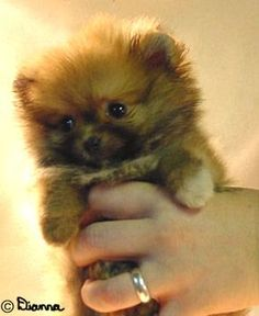I LOVE Pomeranians. ~ ♡ ........DON'T YOU MEAN TEDDY BEARS?!!! ♥A