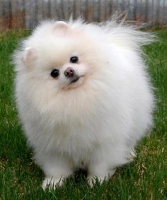 Cute Ball of White Fluff - Pomeranian Dog