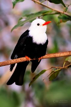 Witte-Grijskopbuulbuul-vogel...! Kinds Of Birds, All Birds, Little Birds, Love Birds, Angry Birds, Pretty Birds, Beautiful Birds, Animals Beautiful, Simply Beautiful