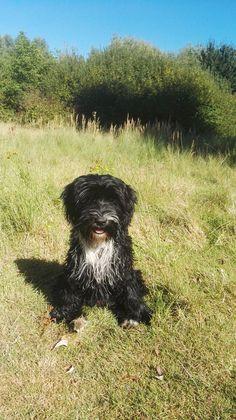 Lotte Tibet Terrier | Pawshake