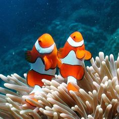 how beautiful is this couple of clown fishes or also called anemone fish. #greatbarrierreef #australia #clownfish #nemo by wildlifedotcom http://ift.tt/1UokkV2