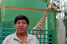 Nezahualcóyotl, Méx. 26 Julio 2013. Jorge Andrade, es el responsable de las cuatro Jirafas del Zoológico Parque del Pueblo de Nezahualcóyotl.