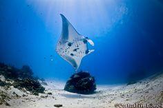 Manta ray. From ProjectNoah.