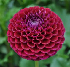 IVANETTI (MBA) Introduced in 3 dark purple 3 Great stems and upright growing habit. Long lasting blooms make this an excellent addition to the cutting garden. Also should score well on the show table. Unique Flowers, Amazing Flowers, Love Flowers, Wedding Flowers, Dahlia Flower, My Flower, Bird Fountain, September Flowers, Exotic Flowers