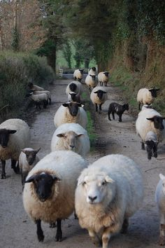 FARMHOUSE – ANIMALS – the sheep are coming, the sheep are coming!