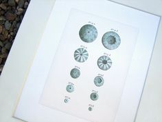 Sea Urchin Shells 2 in Soft Blues Naturalist Study by paperwords11, $15.00
