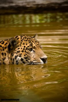 Jaguar in the Pantanal, Brazil Beautiful Cats, Animals Beautiful, Cute Animals, Big Cats, Cats And Kittens, Mon Zoo, Gato Grande, Small Cat, Exotic Pets