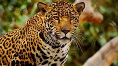 download free cheetah wallpapers hd