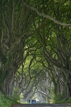 """ The Dark Hedges, Ballymoney / Northern Ireland (by ScrewJ). """