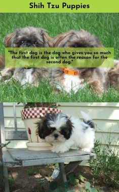 Simply click the link for more information Shih Tzu #ShihTzu  Follow the link to read more.