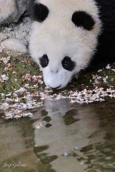 Panda Cub Mirror by Josef Gelernter, via 500px