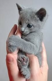 russian blue kitten for sale Cute Cats Pictures I Love Cats grey kittens for sale near me - Kittens Cute Baby Animals, Animals And Pets, Funny Animals, Animals Images, Wild Animals, Pretty Cats, Beautiful Cats, Animals Beautiful, Cute Cats And Kittens