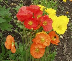 Papaver croceum for the front Yellow Flowers, Flower Power, Flora, Orange, Rose, Nature, Plants, Restaurant Ideas, Spikes