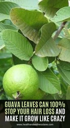 Guava leaves are extraordinary when it comes providing various health benefits. They are excellent source of potassium, vitamin A and C, lycopene and healthy fiber. We present you 17 incredible benefits from guava leaves Tea from guava leaves can reduce Natural Health Remedies, Natural Cures, Herbal Remedies, Home Remedies, Natural Treatments, Natural Healing, Cough Remedies, Headache Remedies, Natural Oil