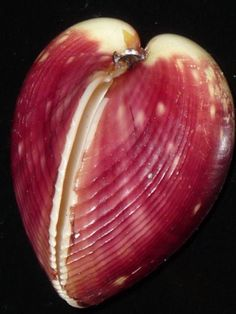 Lyrocardium aeolicum 39mm GEM RARE BURGUNY RED