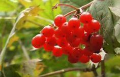 Калина красная для укрепления здоровья