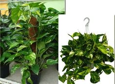 Evin havasını temizleyen bitkiler - Canım Anne Aloe Vera, Home And Garden, Herbs, Anne, Plants, Eco Garden, Backyard Landscaping, Cleaning, Herb