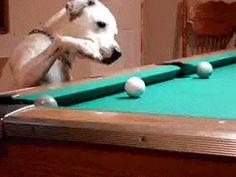 This cool pool-shark dog.