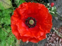 National Flower of Poland...Red Corn Poppy