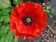 National Flower of Poland...Red Corn Poppy