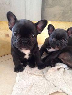 Bébés Bouledogues Francais, French Bulldog Puppies