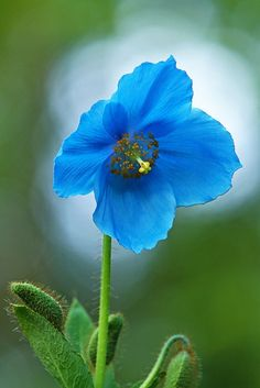 belindag:  ~~Blue Himalyan Poppy by Gary Lackie~~ by AlaskaFreezeFrame