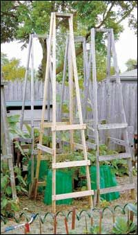 I made the first version of these cages in 1988 out of cheap wooden boards, and with a little patching, I have used them ever since. With added rungs, the cages also can be used for cucumbers or similar vegetables, or you can add strings and use them for