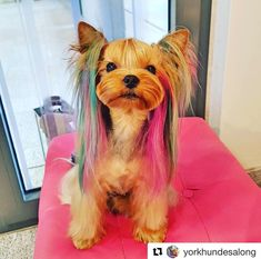 Done by OPAWZ permanent hair dyes with dilution cream. Works by  York Hundesalong Grooming.