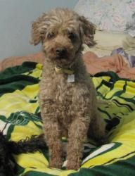Beebee & Rusty is an adoptable Poodle Dog in Lansing, MI.  Beebee and Rusty are two minature poodles that were surrendered by their owner and would like to be adopted together. Beebe is female, 4 yea...