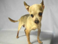SUPER URGENT 07/27/16 Brooklyn center BAMBI – A1082639  MALE, CREAM / BLACK, CHIHUAHUA SH MIX, 14 yrs STRAY – STRAY WAIT, NO HOLD Reason STRAY Intake condition UNSPECIFIE Intake Date 07/25/2016, From NY 11412, DueOut Date 07/28/2016,