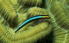 """Sharknose Goby (Elacatinus evelynae) on a brain coral waiting for a """"client"""" who needs to be cleaned up from its small external parasites Saltwater Aquarium Fish, Saltwater Tank, Fuji Instax, Marine Aquarium, Marine Fish, Ecuador, Fish Tank Design, Wonderland, Brain Coral"""
