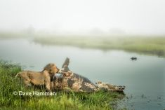 winter mornings in the Okavango at Chitabe Lediba camp are always full of surprises. As the thick morning mist started to lift it revealed this male lion feeding on a hippo in the water