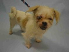 RETURNED!!** SUPER URGENT SNOWFLAKE – A1091731  *CAME WITH ROVER*  SPAYED FEMALE, WHITE / TAN, NORWICH TERRIER MIX, 7 yrs OWNER SUR