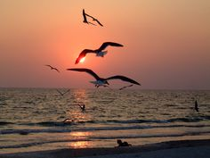 Sarasota beach sunsets delight visitors and sea birds
