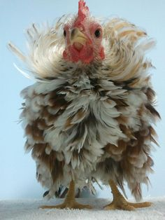 baby frizzle rooster!