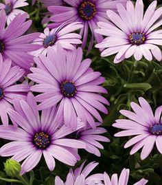 Osteospermum 'Soprano Light Purple' - Sometimes referred to as an African Daisy. They can stand on their own or make a perfect companion in a container.