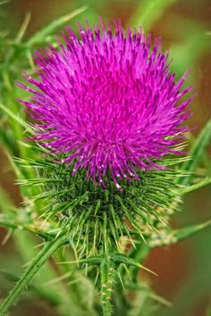 The Beautiful but Thorny Thistle