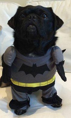 Kilo the Pug Dressed as Batman