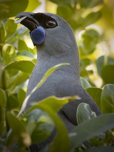 North Island kōkako (Callaeas wilsoni) is an endangered forest bird which is endemic to the North Island of New Zealand. All Birds, Little Birds, Love Birds, Exotic Birds, Colorful Birds, Pretty Birds, Beautiful Birds, Mundo Animal, Bird Pictures