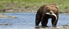McNeil River Bear Watching | Tailor Made Holidays to see Grizzly Bears fishing in Alaska | Travel ...