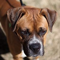 . . . a beautiful Boxer.  This is Boris who's at MaxFund, a no-kill shelter in Denver.  4.15.12