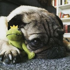 Today I'm just gonna hang out with my little frog friend ❤️ #mopsliebe #pugsofinstagram #pug #mops #frog #mopsofinstagram #hundeliebe #puglove #pugworld #puglife #mopstagram #pugsandkisses #cuddling #kuscheln #frosch #froschmoments