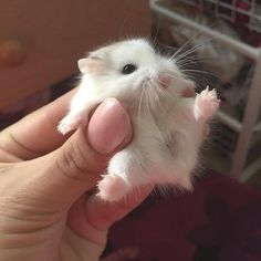 This cute little hamster Baby Animals Super Cute, Cute Little Animals, Cute Funny Animals, Cute Dogs, Cute Babies, Tiny Baby Animals, Baby Animals Pictures, Cute Animal Pictures, Fluffy Animals