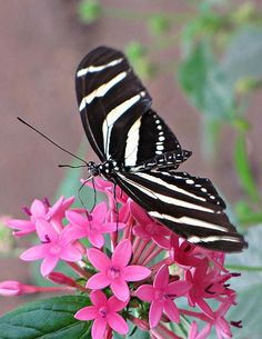 The black and white stripes of the Zebra Longwing Butterfly contrasts with the pink flowers of the tropical plant. MTBobbins Photography
