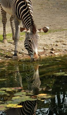Striped twin by Gambassi on DeviantArt African Animals, African Safari, Wild Animals, Baby Animals, British West Indies, Safari Adventure, Animal Babies, Water Reflections, Out Of Africa