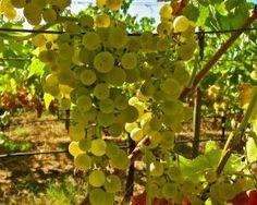 Arnsburger (Riesling clones 88 x 64) in Mokelumne Glen Vineyards, Lodi AVA. Photography by Randy Caparoso. #Lodi #wine #grapes