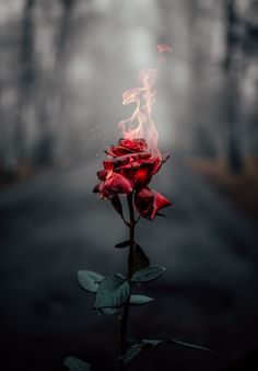 wallpaper rose Rose on fire Rose on fire Flower Phone Wallpaper, Iphone Background Wallpaper, Rose Wallpaper, Galaxy Wallpaper, Wallpaper Samsung, Free Wallpaper For Phone, Iphone Wallpaper Fire, Wallpaper Quotes, Quotes Lockscreen