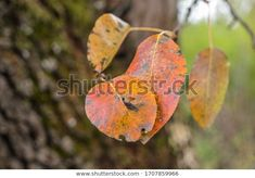 Find Autumn Leaves Colorful Leaves October stock images in HD and millions of other royalty-free stock photos, illustrations and vectors in the Shutterstock collection. Thousands of new, high-quality pictures added every day. Autumn Leaves, Photo Editing, Royalty Free Stock Photos, October, Illustration, Artist, Pictures, Colorful, Image