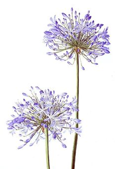 http://www.siriolsherlock.com/watercolour---botanical.html
