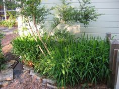 April 2007 Inland sea oats Another view of the sea oats, under evergreen yaupon holly Spring green cloaks the patio garden. Green is the easiest color to overlook, but it's the workhorse of the garden. I'm grateful for evergreen … Read